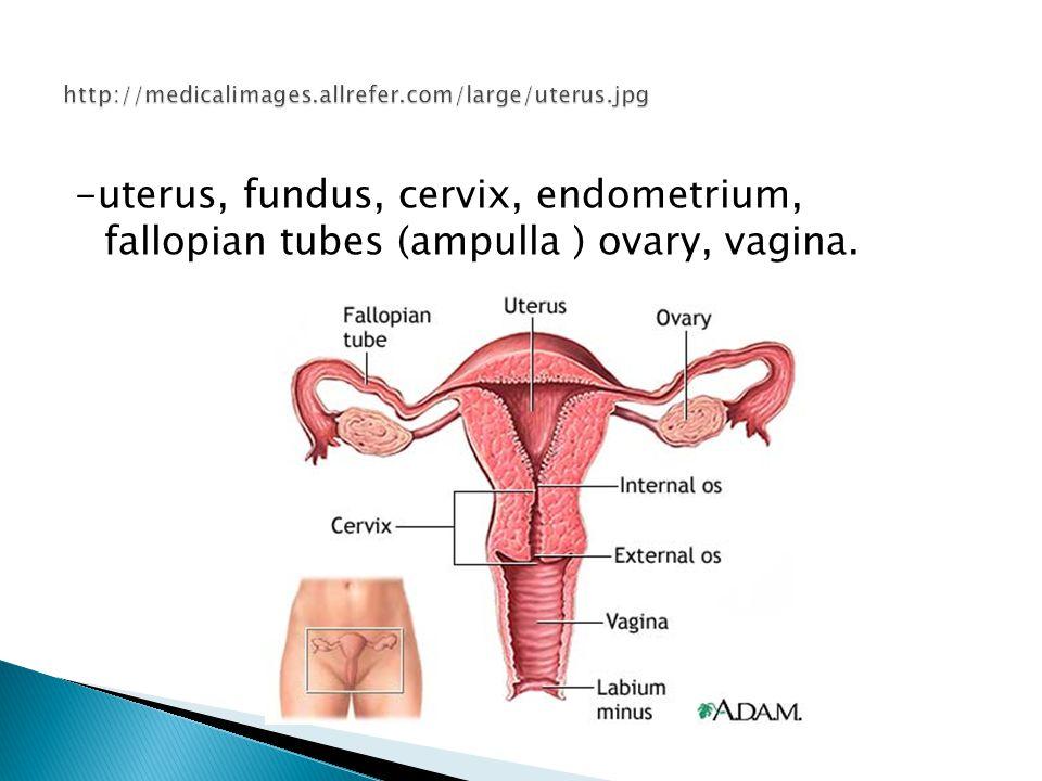 Uterus And Cervix Anatomy Images - human body anatomy