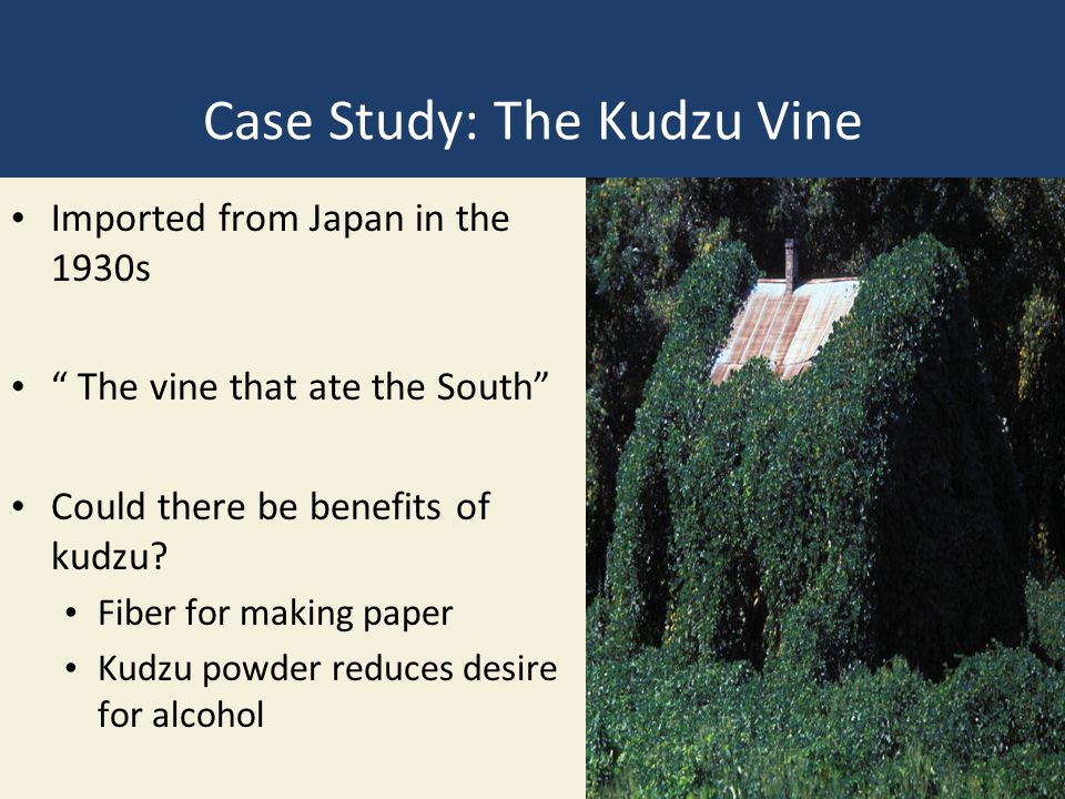 Case Study: The Kudzu Vine Imported from Japan in the 1930s The vine that ate the South Could there be benefits of kudzu.