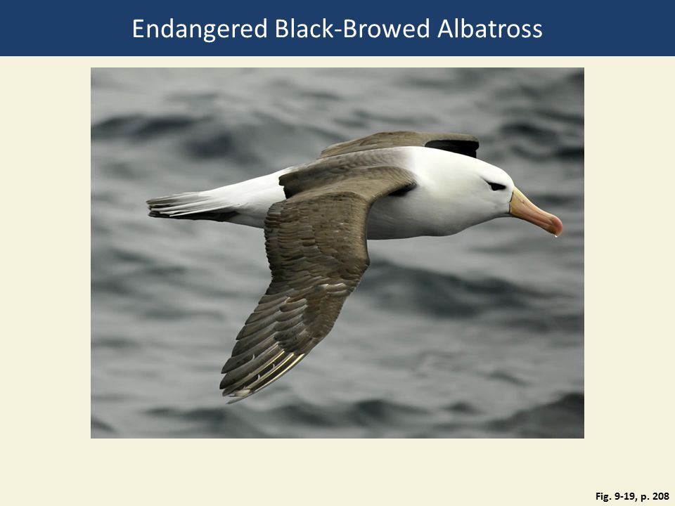 Fig. 9-19, p. 208 Endangered Black-Browed Albatross