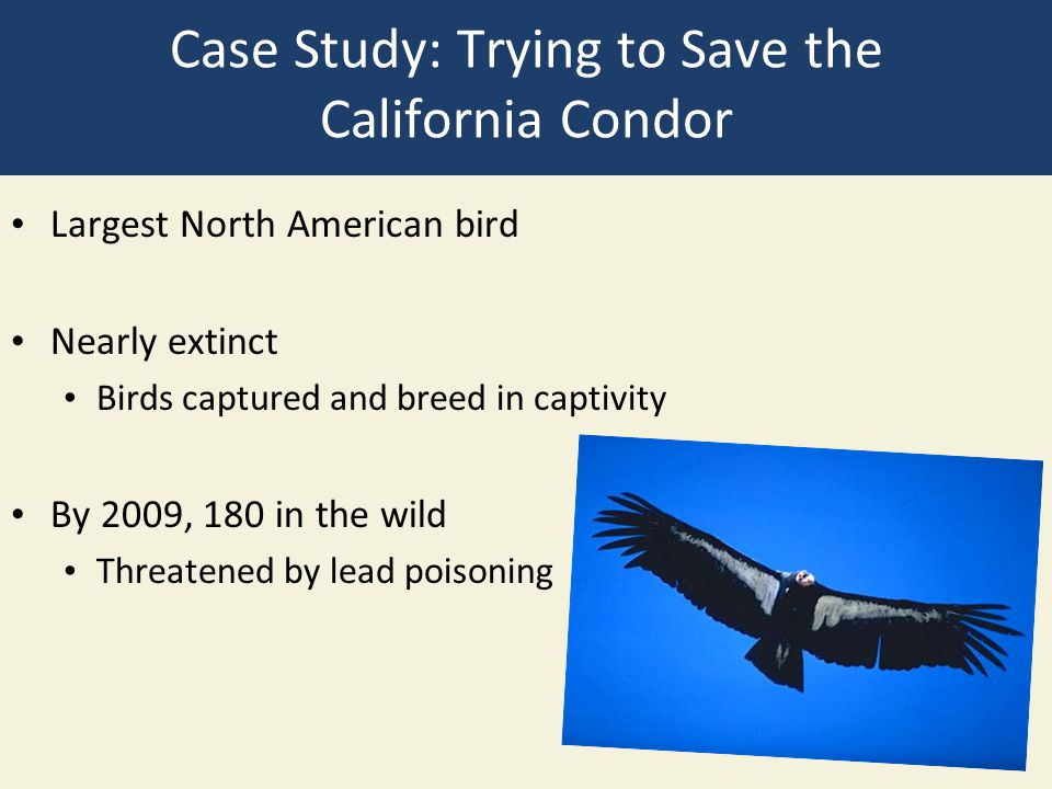 Case Study: Trying to Save the California Condor Largest North American bird Nearly extinct Birds captured and breed in captivity By 2009, 180 in the wild Threatened by lead poisoning