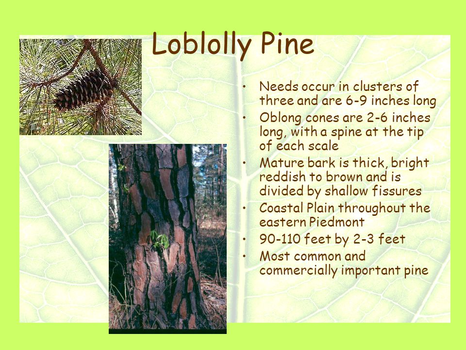Loblolly Pine Needs occur in clusters of three and are 6-9 inches long Oblong cones are 2-6 inches long, with a spine at the tip of each scale Mature bark is thick, bright reddish to brown and is divided by shallow fissures Coastal Plain throughout the eastern Piedmont 90-110 feet by 2-3 feet Most common and commercially important pine