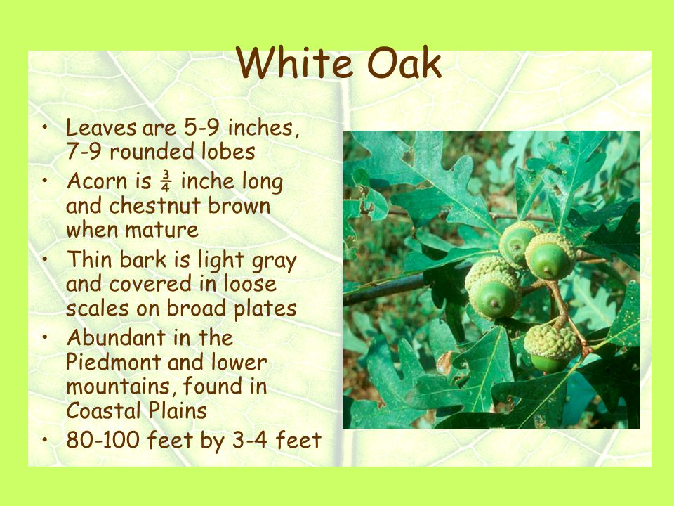 White Oak Leaves are 5-9 inches, 7-9 rounded lobes Acorn is ¾ inche long and chestnut brown when mature Thin bark is light gray and covered in loose scales on broad plates Abundant in the Piedmont and lower mountains, found in Coastal Plains 80-100 feet by 3-4 feet