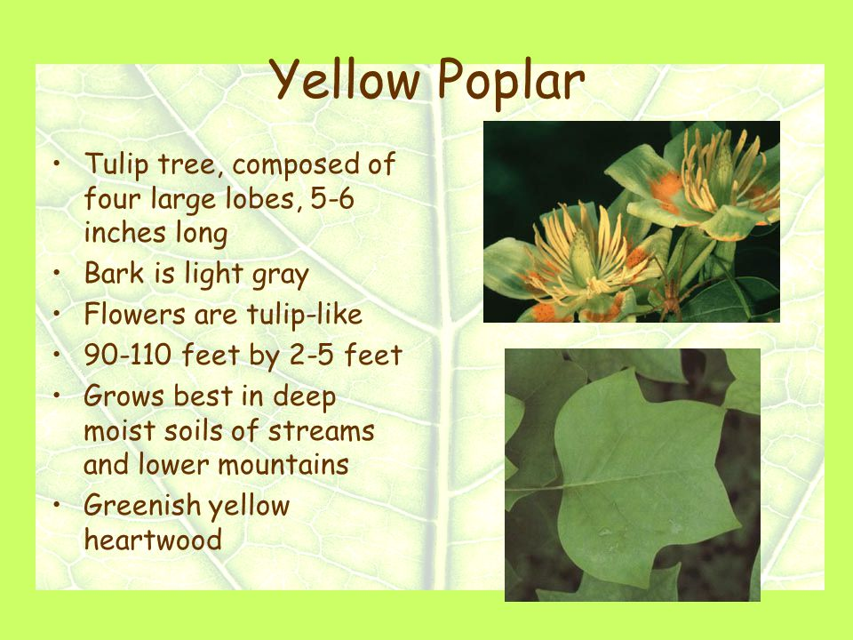 Yellow Poplar Tulip tree, composed of four large lobes, 5-6 inches long Bark is light gray Flowers are tulip-like 90-110 feet by 2-5 feet Grows best in deep moist soils of streams and lower mountains Greenish yellow heartwood