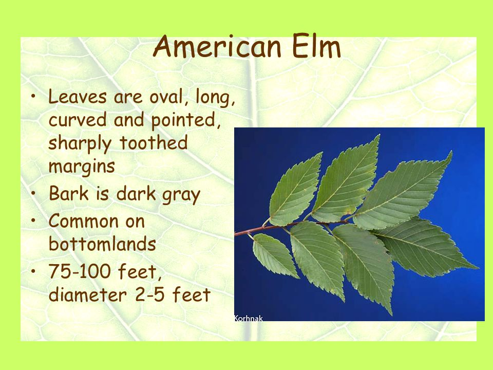American Elm Leaves are oval, long, curved and pointed, sharply toothed margins Bark is dark gray Common on bottomlands 75-100 feet, diameter 2-5 feet