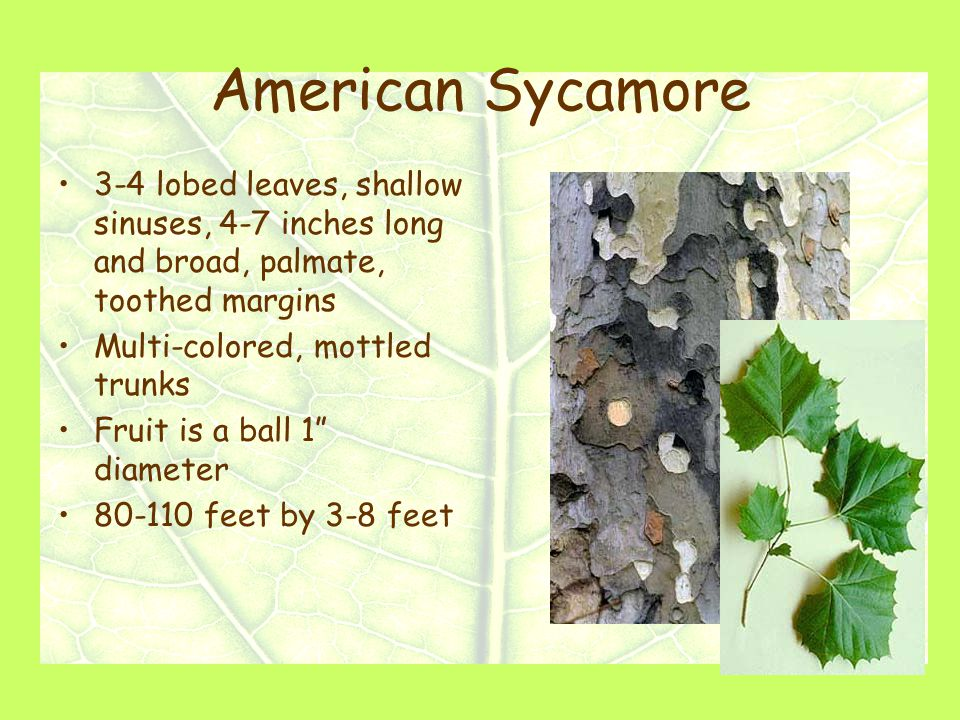 American Sycamore 3-4 lobed leaves, shallow sinuses, 4-7 inches long and broad, palmate, toothed margins Multi-colored, mottled trunks Fruit is a ball 1 diameter 80-110 feet by 3-8 feet