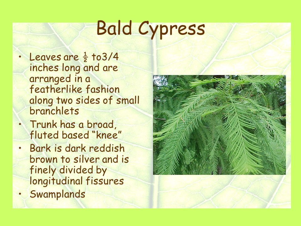 Bald Cypress Leaves are ½ to3/4 inches long and are arranged in a featherlike fashion along two sides of small branchlets Trunk has a broad, fluted based knee Bark is dark reddish brown to silver and is finely divided by longitudinal fissures Swamplands