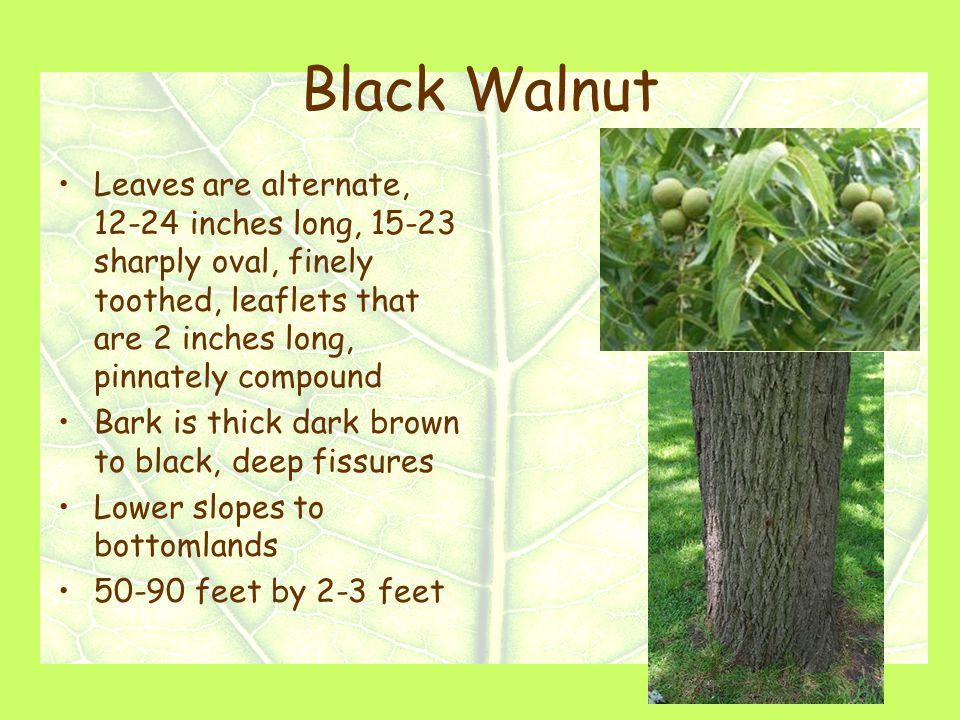 Black Walnut Leaves are alternate, 12-24 inches long, 15-23 sharply oval, finely toothed, leaflets that are 2 inches long, pinnately compound Bark is thick dark brown to black, deep fissures Lower slopes to bottomlands 50-90 feet by 2-3 feet