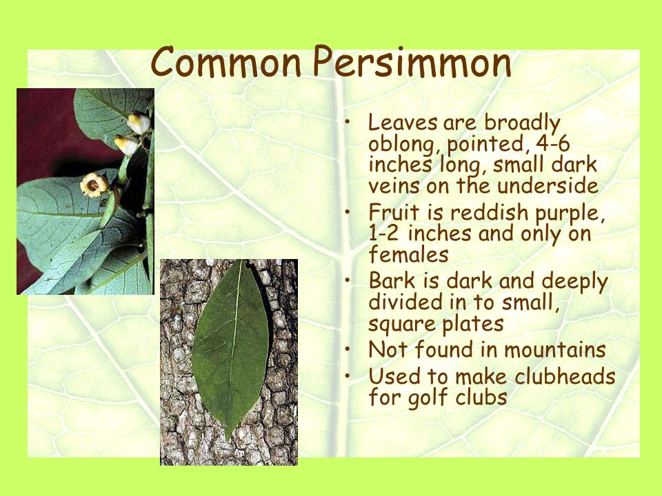 Common Persimmon Leaves are broadly oblong, pointed, 4-6 inches long, small dark veins on the underside Fruit is reddish purple, 1-2 inches and only on females Bark is dark and deeply divided in to small, square plates Not found in mountains Used to make clubheads for golf clubs