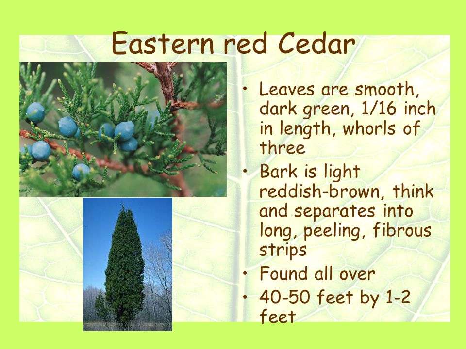 Eastern red Cedar Leaves are smooth, dark green, 1/16 inch in length, whorls of three Bark is light reddish-brown, think and separates into long, peeling, fibrous strips Found all over 40-50 feet by 1-2 feet
