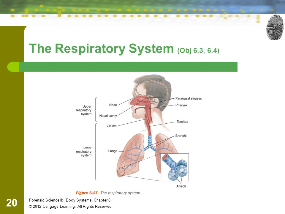20 Forensic Science II: Body Systems, Chapter 6 © 2012 Cengage Learning. All Rights Reserved The Respiratory System (Obj 6.3, 6.4)