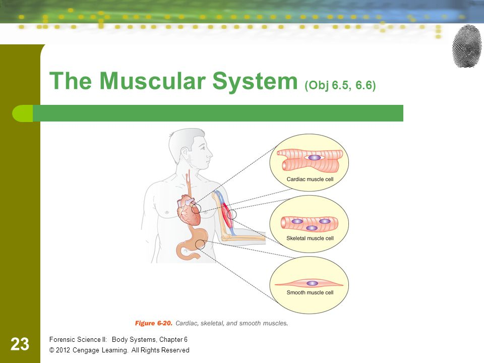 23 Forensic Science II: Body Systems, Chapter 6 © 2012 Cengage Learning.
