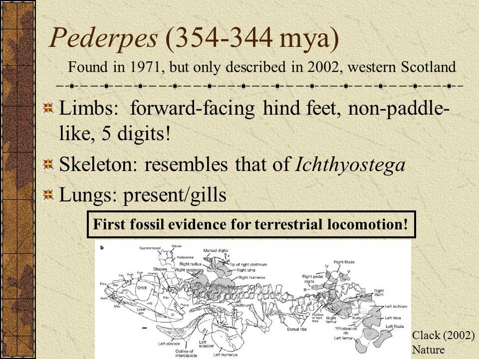 Pederpes (354-344 mya) Limbs: forward-facing hind feet, non-paddle- like, 5 digits.
