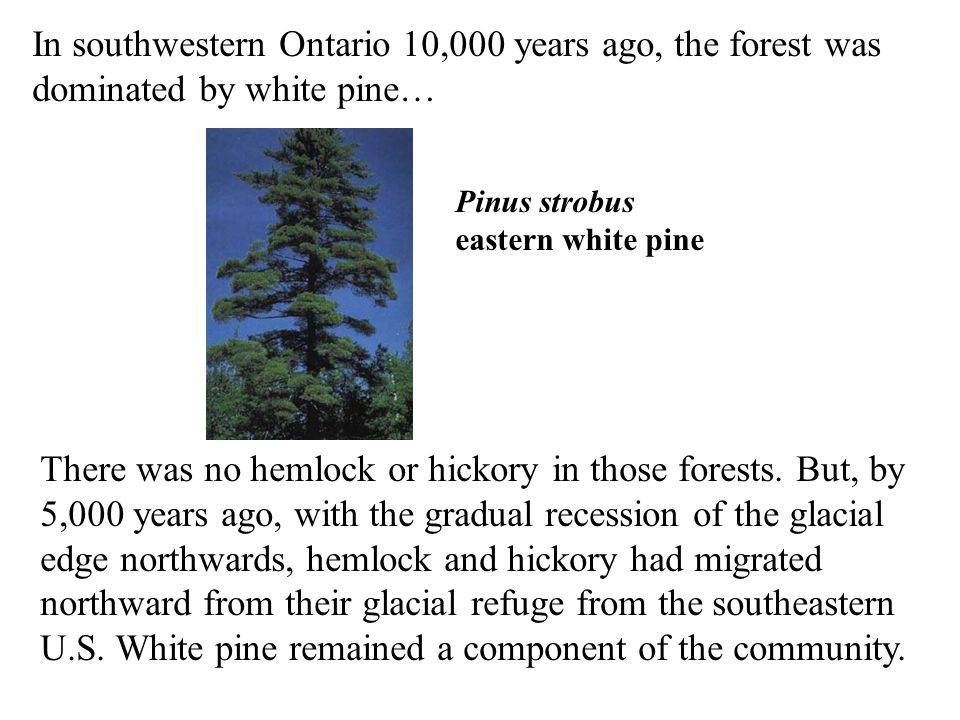 In southwestern Ontario 10,000 years ago, the forest was dominated by white pine… Pinus strobus eastern white pine There was no hemlock or hickory in those forests.
