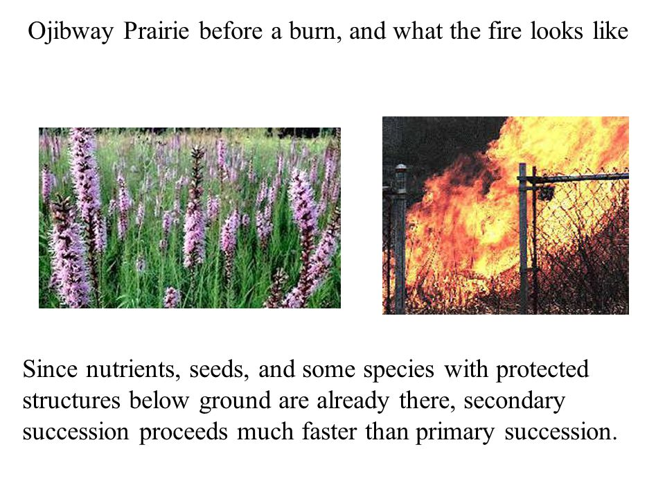 Ojibway Prairie before a burn, and what the fire looks like Since nutrients, seeds, and some species with protected structures below ground are already there, secondary succession proceeds much faster than primary succession.