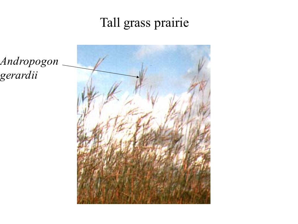 Tall grass prairie Andropogon gerardii