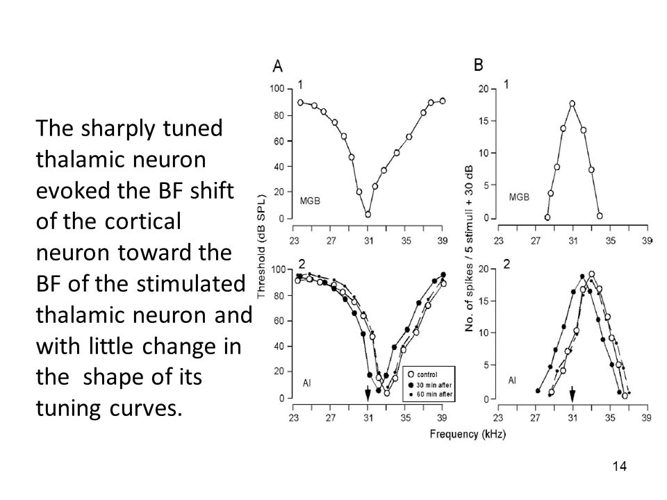 14 The sharply tuned thalamic neuron evoked the BF shift of the cortical neuron toward the BF of the stimulated thalamic neuron and with little change in the shape of its tuning curves.