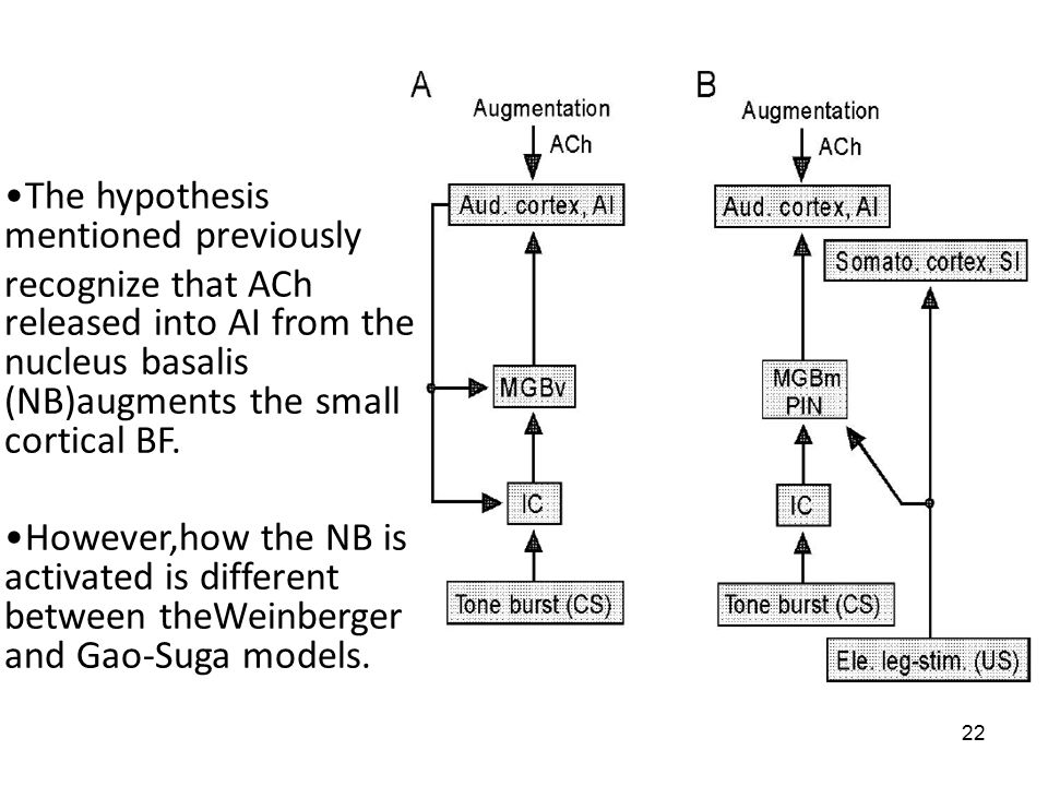 22 The hypothesis mentioned previously recognize that ACh released into AI from the nucleus basalis (NB)augments the small cortical BF.