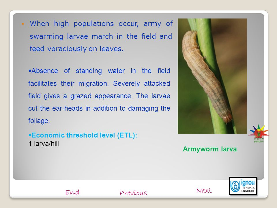  When high populations occur, army of swarming larvae march in the field and feed voraciously on leaves. Armyworm larva  Absence of standing water i