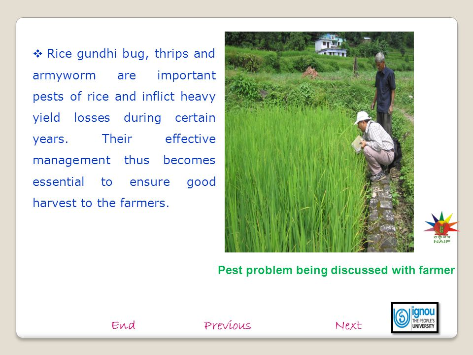  Rice gundhi bug, thrips and armyworm are important pests of rice and inflict heavy yield losses during certain years. Their effective management thu