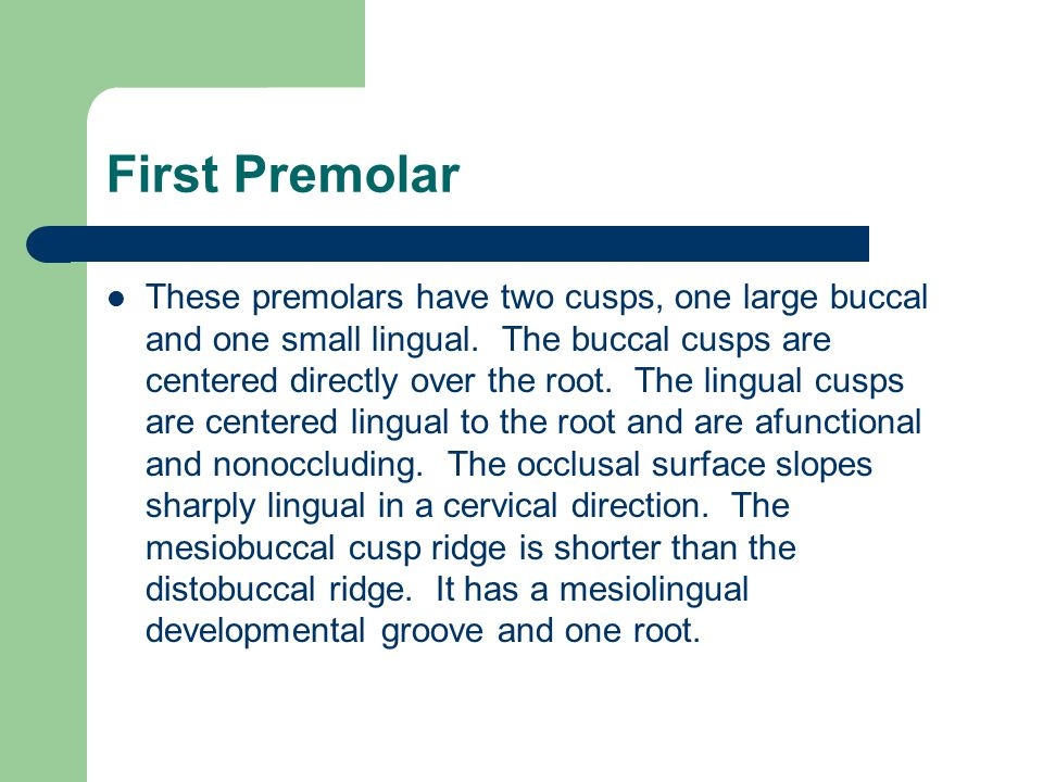 First Premolar These premolars have two cusps, one large buccal and one small lingual. The buccal cusps are centered directly over the root. The lingu