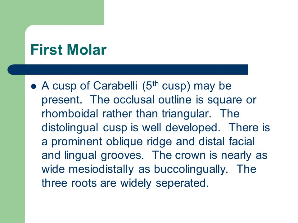First Molar A cusp of Carabelli (5 th cusp) may be present. The occlusal outline is square or rhomboidal rather than triangular. The distolingual cusp