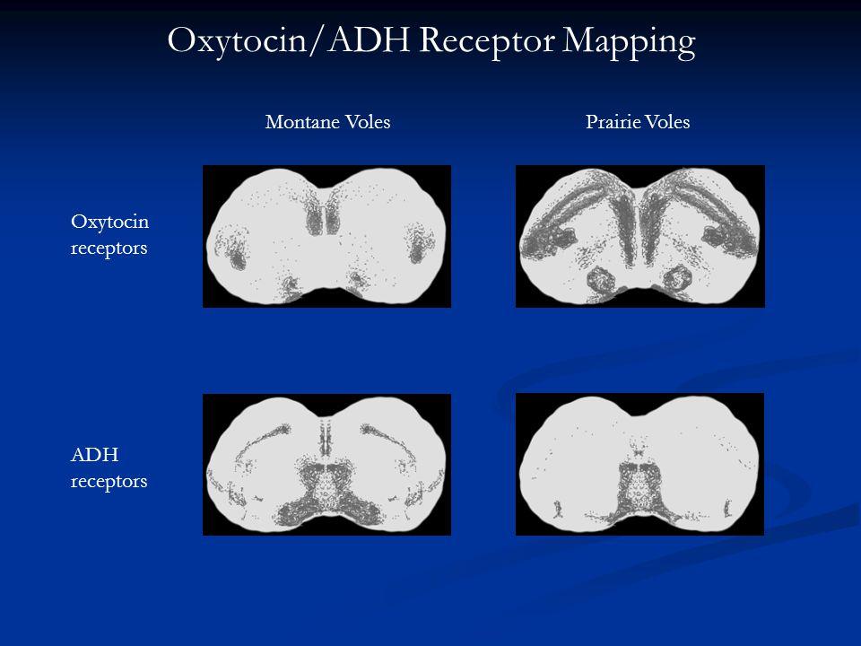Oxytocin/ADH Receptor Mapping Montane VolesPrairie Voles Oxytocin receptors ADH receptors
