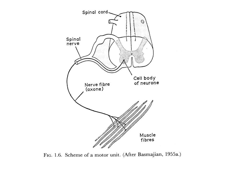 Depolarization of Muscle Membrane The EMG signal is derived from the depolarization of the muscle membrane.
