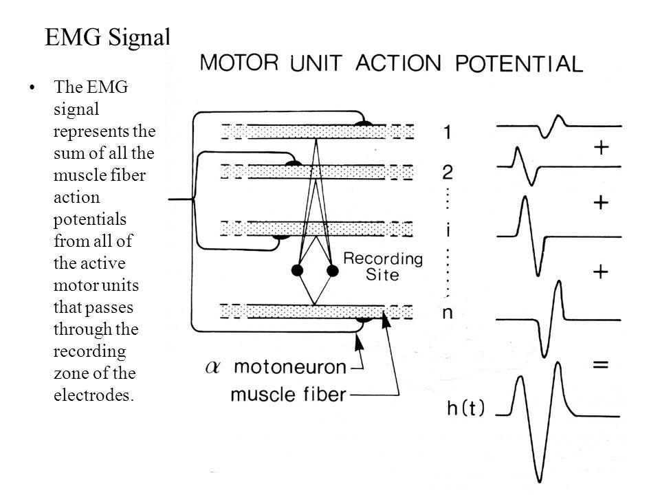 Motor Unit Synchronization Un-Synchronized Action Potentials Reduce EMG Amplitude.
