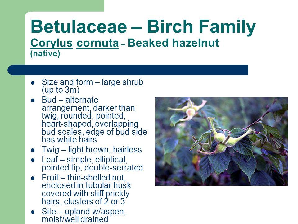 Betulaceae – Birch Family Corylus cornuta – Beaked hazelnut (native) Size and form – large shrub (up to 3m) Bud – alternate arrangement, darker than t
