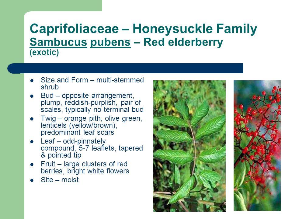 Caprifoliaceae – Honeysuckle Family Sambucus pubens – Red elderberry (exotic) Size and Form – multi-stemmed shrub Bud – opposite arrangement, plump, r