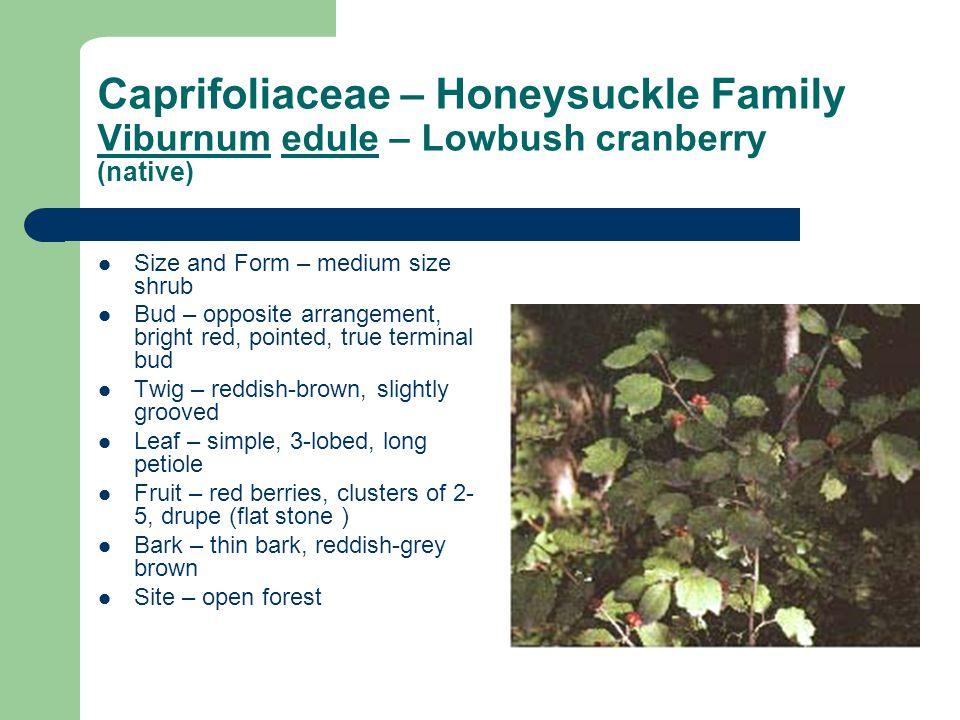 Caprifoliaceae – Honeysuckle Family Viburnum edule – Lowbush cranberry (native) Size and Form – medium size shrub Bud – opposite arrangement, bright r