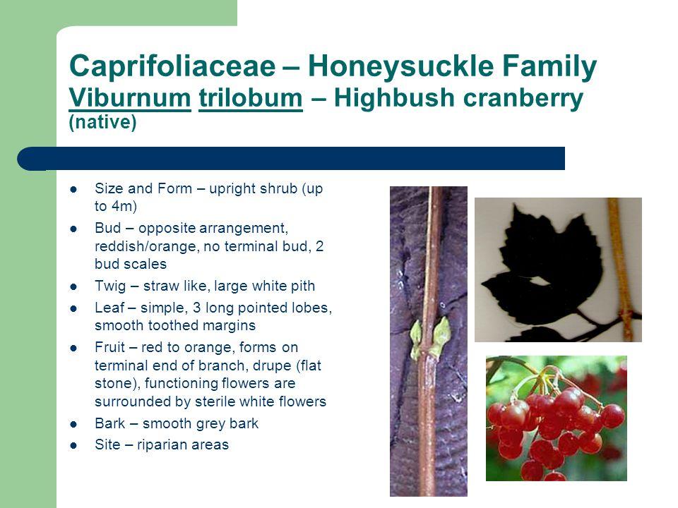 Caprifoliaceae – Honeysuckle Family Viburnum trilobum – Highbush cranberry (native) Size and Form – upright shrub (up to 4m) Bud – opposite arrangemen
