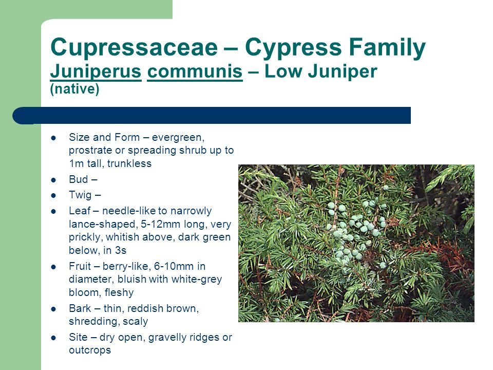 Cupressaceae – Cypress Family Juniperus communis – Low Juniper (native) Size and Form – evergreen, prostrate or spreading shrub up to 1m tall, trunkless Bud – Twig – Leaf – needle-like to narrowly lance-shaped, 5-12mm long, very prickly, whitish above, dark green below, in 3s Fruit – berry-like, 6-10mm in diameter, bluish with white-grey bloom, fleshy Bark – thin, reddish brown, shredding, scaly Site – dry open, gravelly ridges or outcrops