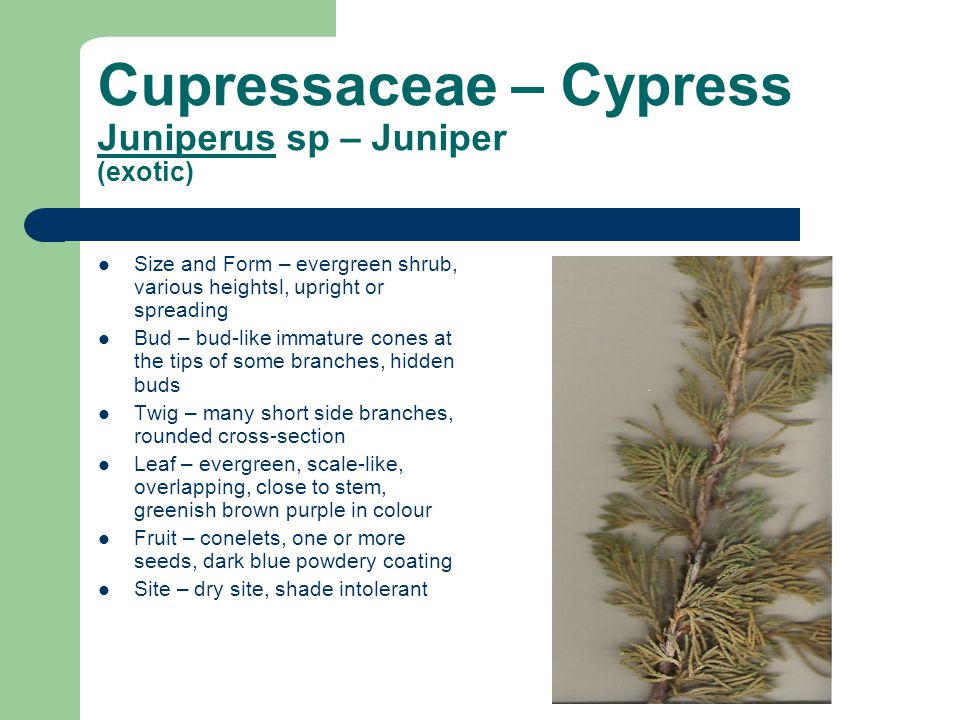 Cupressaceae – Cypress Juniperus sp – Juniper (exotic) Size and Form – evergreen shrub, various heightsl, upright or spreading Bud – bud-like immature cones at the tips of some branches, hidden buds Twig – many short side branches, rounded cross-section Leaf – evergreen, scale-like, overlapping, close to stem, greenish brown purple in colour Fruit – conelets, one or more seeds, dark blue powdery coating Site – dry site, shade intolerant