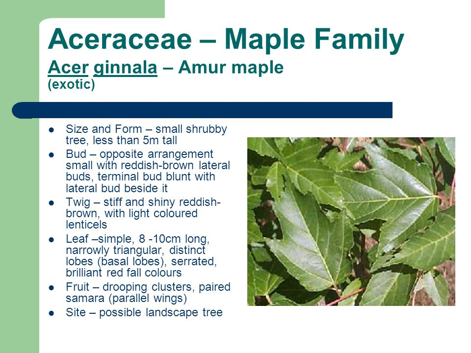 Aceraceae – Maple Family Acer ginnala – Amur maple (exotic) Size and Form – small shrubby tree, less than 5m tall Bud – opposite arrangement small wit