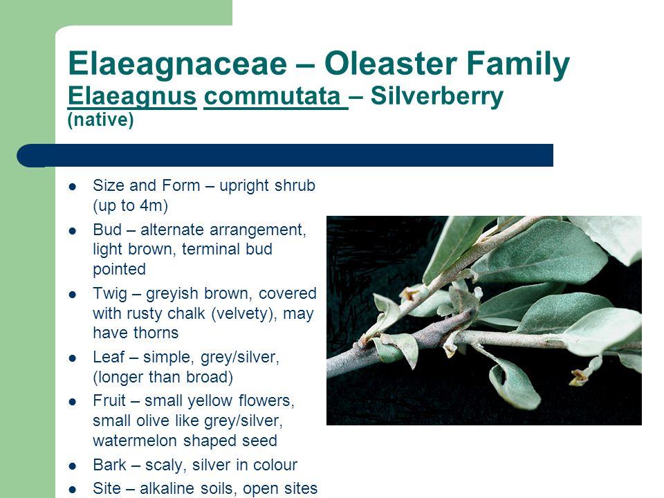 Elaeagnaceae – Oleaster Family Elaeagnus commutata – Silverberry (native) Size and Form – upright shrub (up to 4m) Bud – alternate arrangement, light