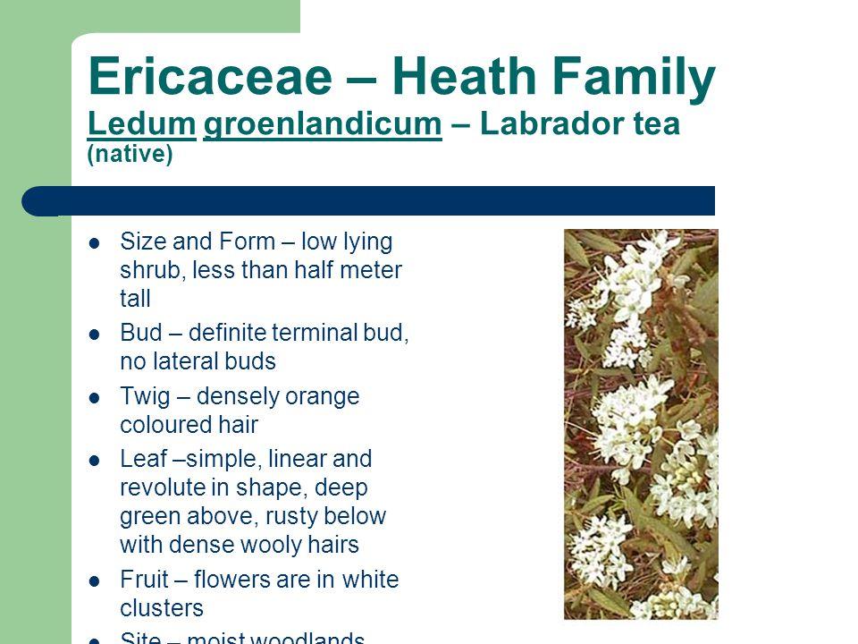 Ericaceae – Heath Family Ledum groenlandicum – Labrador tea (native) Size and Form – low lying shrub, less than half meter tall Bud – definite termina