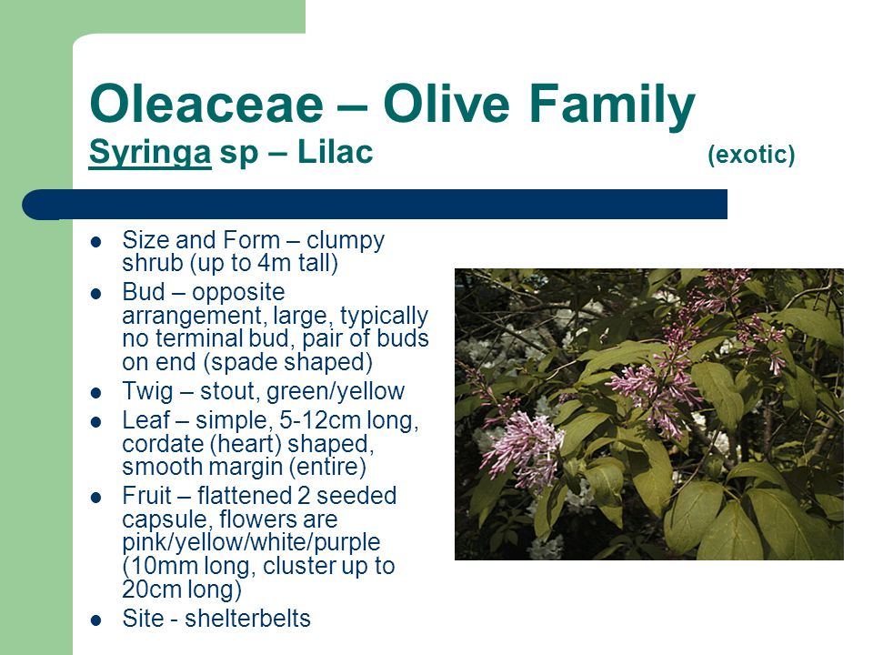 Oleaceae – Olive Family Syringa sp – Lilac (exotic) Size and Form – clumpy shrub (up to 4m tall) Bud – opposite arrangement, large, typically no termi