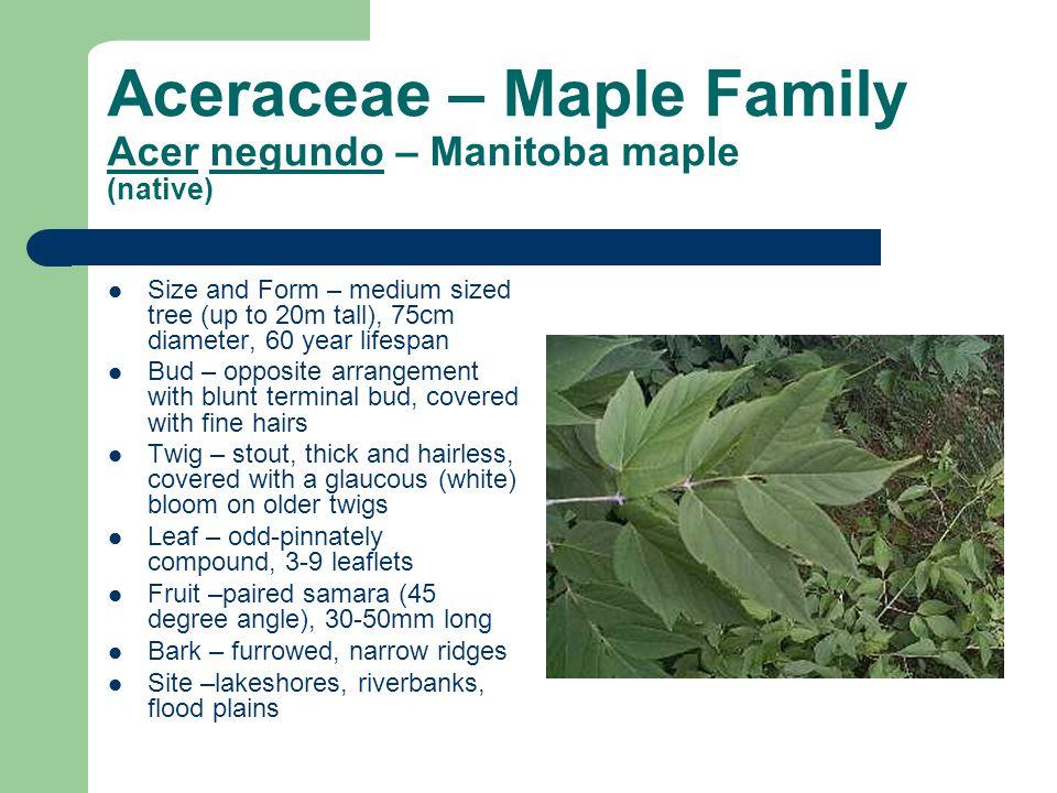 Aceraceae – Maple Family Acer negundo – Manitoba maple (native) Size and Form – medium sized tree (up to 20m tall), 75cm diameter, 60 year lifespan Bu