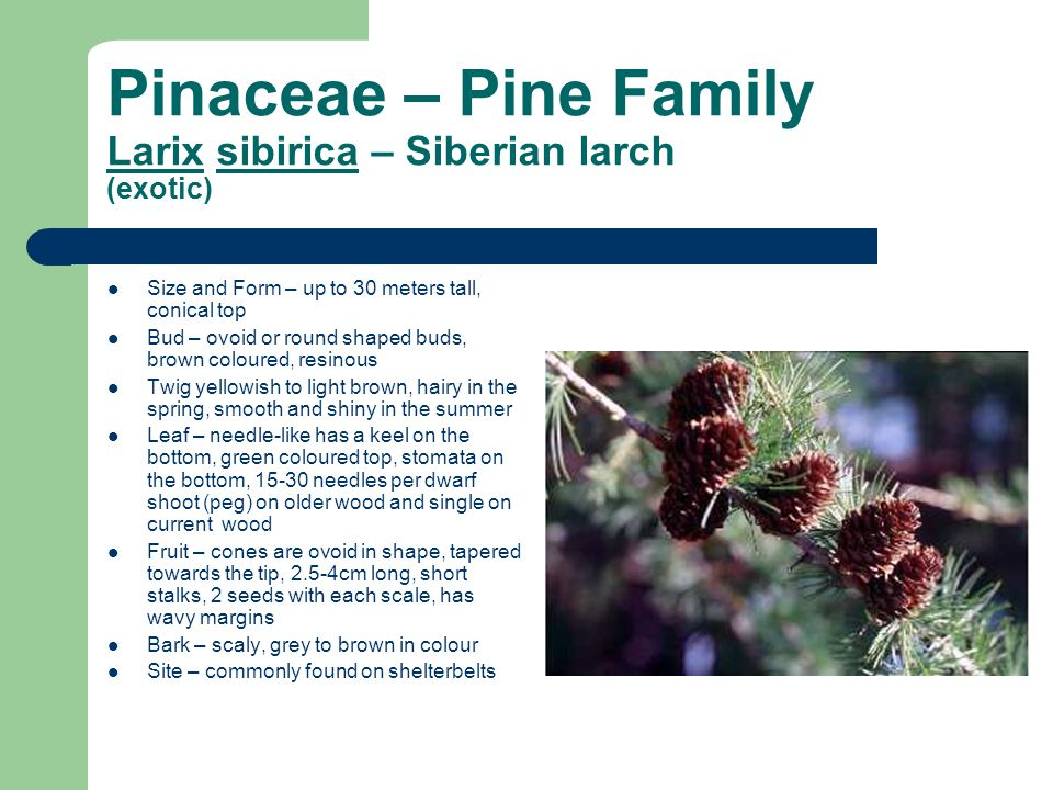 Pinaceae – Pine Family Larix sibirica – Siberian larch (exotic) Size and Form – up to 30 meters tall, conical top Bud – ovoid or round shaped buds, br