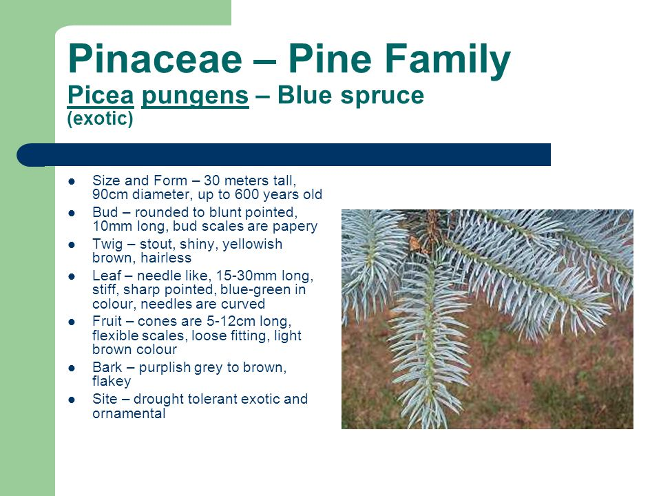 Pinaceae – Pine Family Picea pungens – Blue spruce (exotic) Size and Form – 30 meters tall, 90cm diameter, up to 600 years old Bud – rounded to blunt