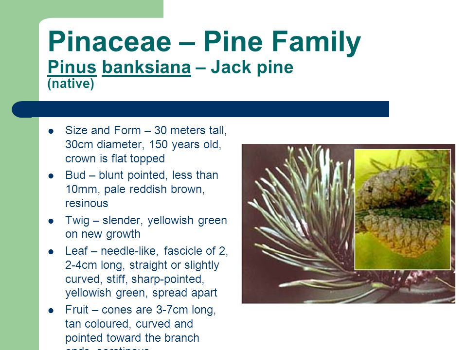 Pinaceae – Pine Family Pinus banksiana – Jack pine (native) Size and Form – 30 meters tall, 30cm diameter, 150 years old, crown is flat topped Bud – b