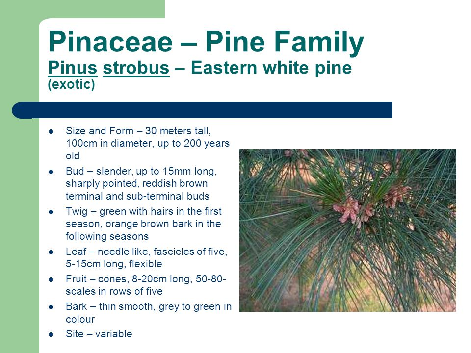 Pinaceae – Pine Family Pinus strobus – Eastern white pine (exotic) Size and Form – 30 meters tall, 100cm in diameter, up to 200 years old Bud – slender, up to 15mm long, sharply pointed, reddish brown terminal and sub-terminal buds Twig – green with hairs in the first season, orange brown bark in the following seasons Leaf – needle like, fascicles of five, 5-15cm long, flexible Fruit – cones, 8-20cm long, 50-80- scales in rows of five Bark – thin smooth, grey to green in colour Site – variable
