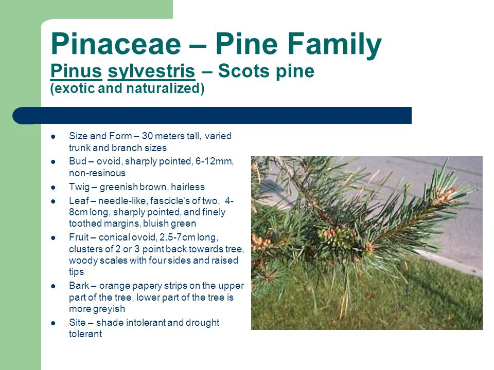 Pinaceae – Pine Family Pinus sylvestris – Scots pine (exotic and naturalized) Size and Form – 30 meters tall, varied trunk and branch sizes Bud – ovoid, sharply pointed, 6-12mm, non-resinous Twig – greenish brown, hairless Leaf – needle-like, fascicle's of two, 4- 8cm long, sharply pointed, and finely toothed margins, bluish green Fruit – conical ovoid, 2.5-7cm long, clusters of 2 or 3 point back towards tree, woody scales with four sides and raised tips Bark – orange papery strips on the upper part of the tree, lower part of the tree is more greyish Site – shade intolerant and drought tolerant