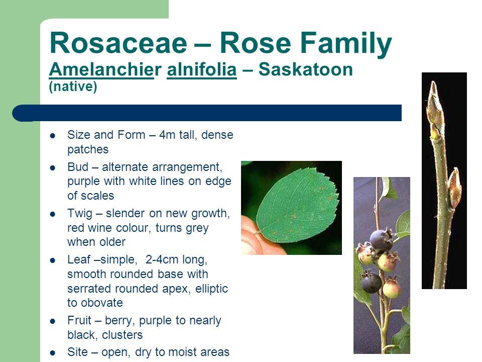 Rosaceae – Rose Family Amelanchier alnifolia – Saskatoon (native) Size and Form – 4m tall, dense patches Bud – alternate arrangement, purple with whit