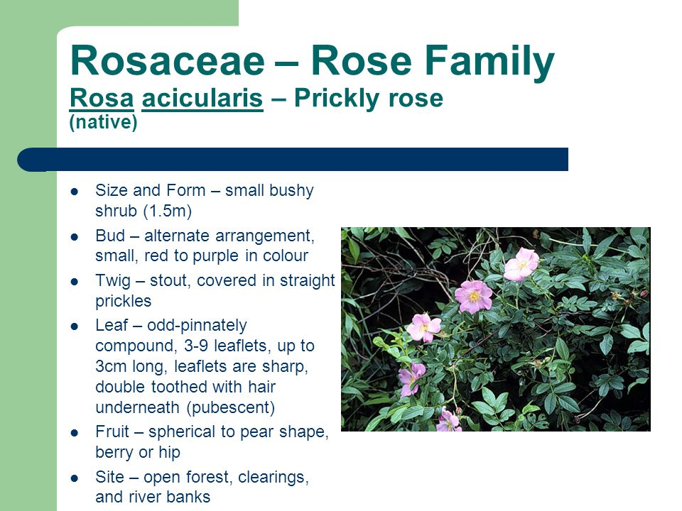 Rosaceae – Rose Family Rosa acicularis – Prickly rose (native) Size and Form – small bushy shrub (1.5m) Bud – alternate arrangement, small, red to pur