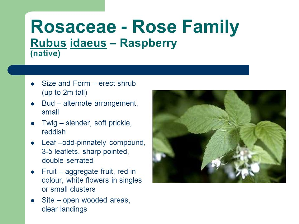 Rosaceae - Rose Family Rubus idaeus – Raspberry (native) Size and Form – erect shrub (up to 2m tall) Bud – alternate arrangement, small Twig – slender, soft prickle, reddish Leaf –odd-pinnately compound, 3-5 leaflets, sharp pointed, double serrated Fruit – aggregate fruit, red in colour, white flowers in singles or small clusters Site – open wooded areas, clear landings