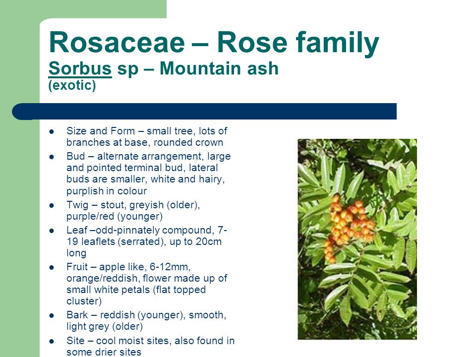 Rosaceae – Rose family Sorbus sp – Mountain ash (exotic) Size and Form – small tree, lots of branches at base, rounded crown Bud – alternate arrangement, large and pointed terminal bud, lateral buds are smaller, white and hairy, purplish in colour Twig – stout, greyish (older), purple/red (younger) Leaf –odd-pinnately compound, 7- 19 leaflets (serrated), up to 20cm long Fruit – apple like, 6-12mm, orange/reddish, flower made up of small white petals (flat topped cluster) Bark – reddish (younger), smooth, light grey (older) Site – cool moist sites, also found in some drier sites