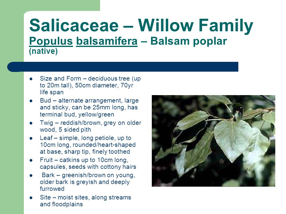Salicaceae – Willow Family Populus balsamifera – Balsam poplar (native) Size and Form – deciduous tree (up to 20m tall), 50cm diameter, 70yr life span Bud – alternate arrangement, large and sticky, can be 25mm long, has terminal bud, yellow/green Twig – reddish/brown, grey on older wood, 5 sided pith Leaf – simple, long petiole, up to 10cm long, rounded/heart-shaped at base, sharp tip, finely toothed Fruit – catkins up to 10cm long, capsules, seeds with cottony hairs Bark – greenish/brown on young, older bark is greyish and deeply furrowed Site – moist sites, along streams and floodplains