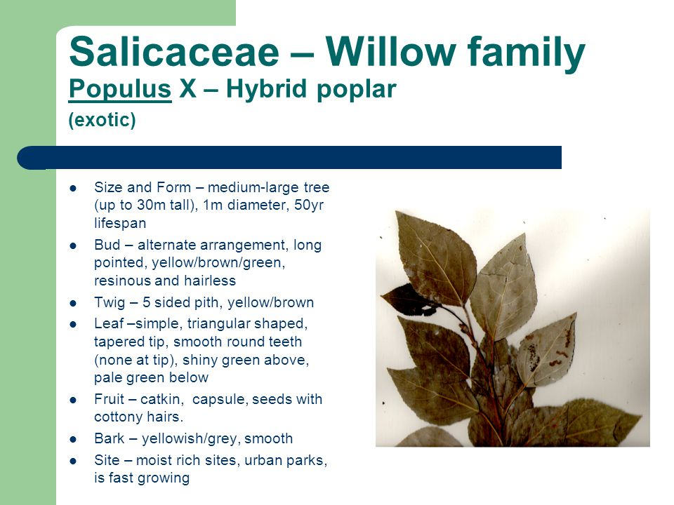 Salicaceae – Willow family Populus X – Hybrid poplar (exotic) Size and Form – medium-large tree (up to 30m tall), 1m diameter, 50yr lifespan Bud – alternate arrangement, long pointed, yellow/brown/green, resinous and hairless Twig – 5 sided pith, yellow/brown Leaf –simple, triangular shaped, tapered tip, smooth round teeth (none at tip), shiny green above, pale green below Fruit – catkin, capsule, seeds with cottony hairs.